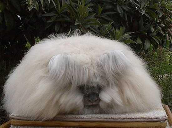 Angora-Rabbit06