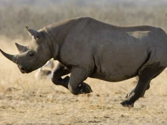 Black-Rhinoceros-7
