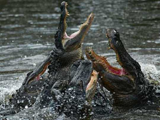 Alligator-Feeding-Frenzy