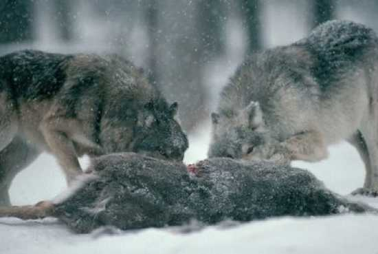 Wolf-Eating2