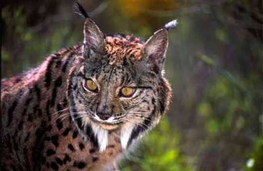 True-Wildlife-Iberian Lynx2