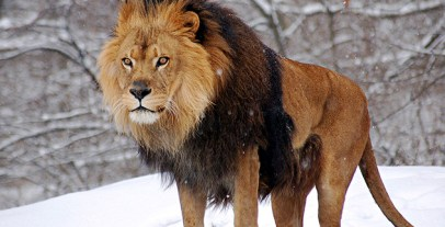 1280px-African_Lion_Panthera_leo_Male_Pittsburgh_2800px_adjusted