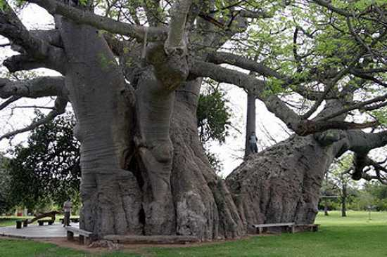 Sunland-Baobab-1