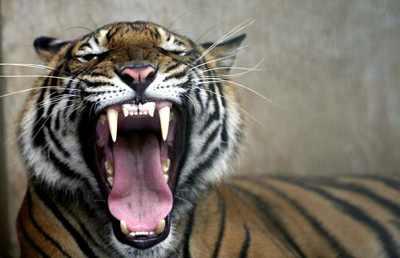 Tiger-Roar 1378402I
