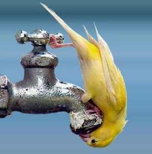 Bird-Drinking