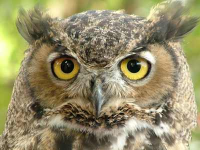 Great-Horned-Owl4