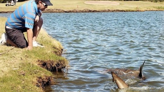 333659-Golf-Course-Sharks