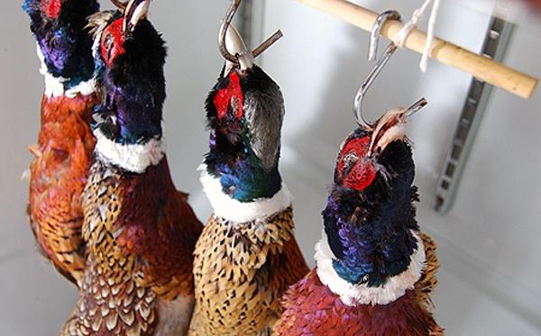 Hanging-Pheasants-600Px
