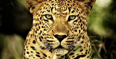 Leopard_Poem