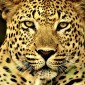 Leopard_Poem