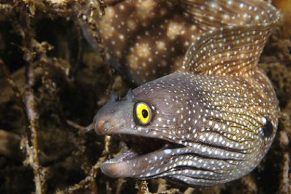 Moray Eel2