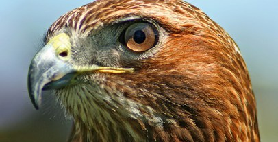 Northern-Red-Tailed-Hawk