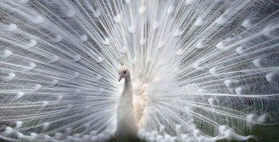 Albino_peacock