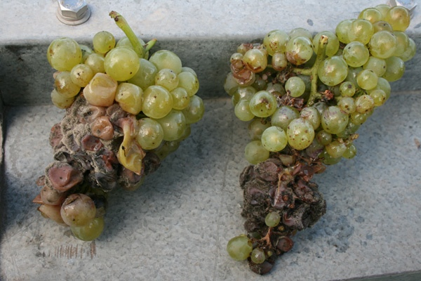 Bad-Grapes