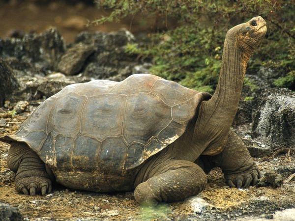 Galapagos-Tortoise 532 600X450