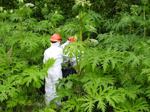 Hogweed-In-A-Hazmat-Suit