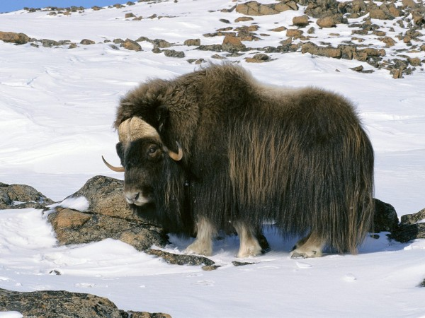 Muskox in Snow Field Arctic National Wildlife Refuge Alaska