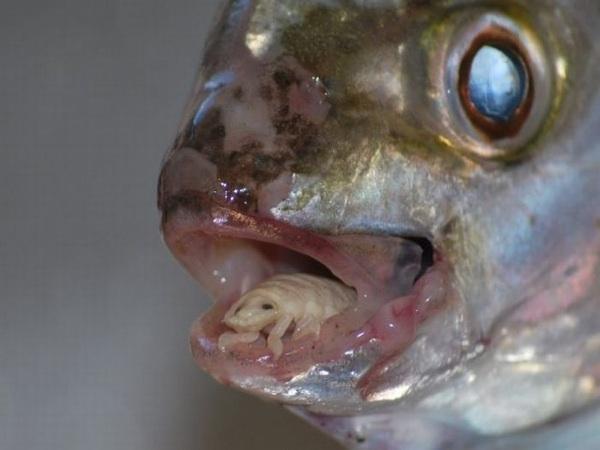 most horrifying parasite cymothoa exigua