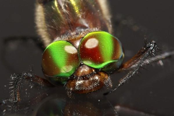 Dragonfly-Eyes