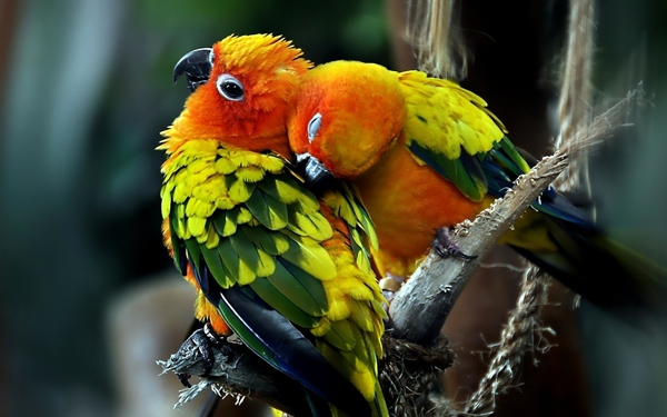 Parrots Couple In Love-Wide