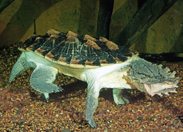Chelus Fimbriatus Mata Mata Turtle Captive, Fwz Low Res