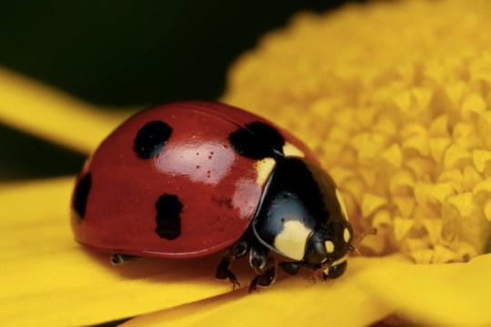 Ladybug On Yellow Iv By Dalantech