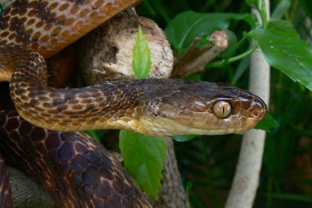 Brown-Tree-Snake(1)