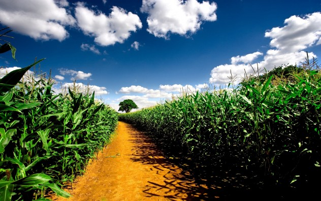 corn-field-road-tree-clouds-sky-nature