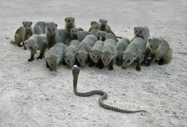 Cobra and Mongoose Fight, Mongoose Wins