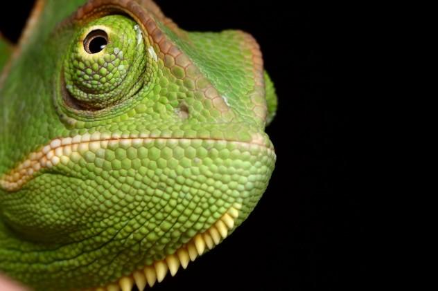Veiled_Chameleon_yemen_4_by_macrojunkie