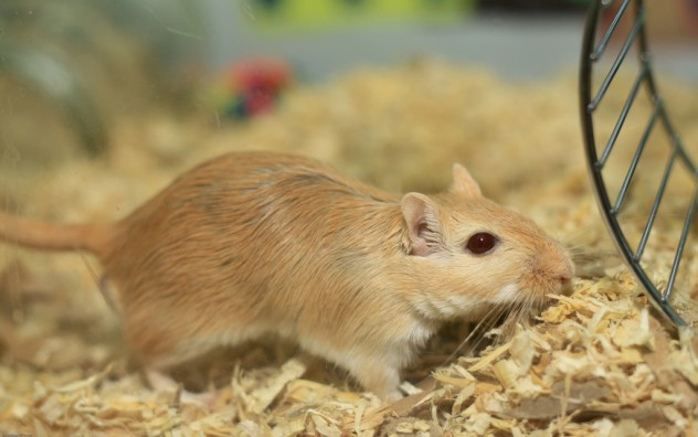 Gerbil-Basic-Info-Sheet
