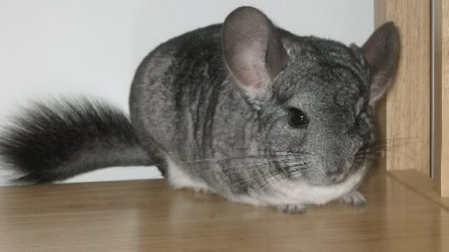Standardchinchilla