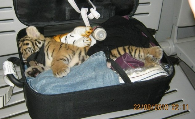 tiger in suitcase 1 cropped
