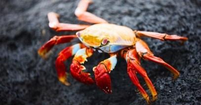 Red-crab-e1382294325446 (1)