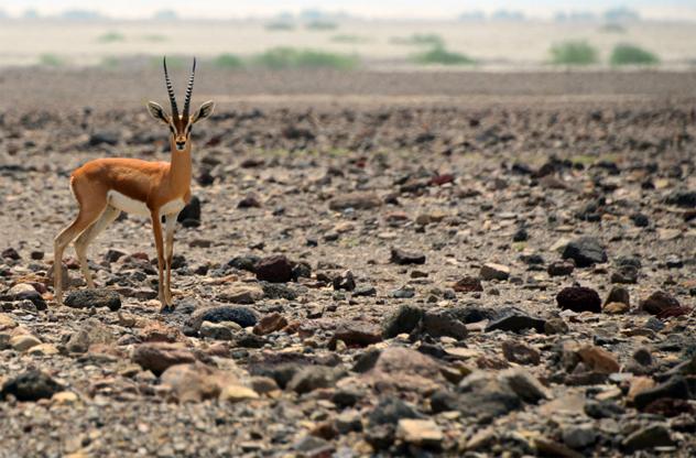 1- gazelle