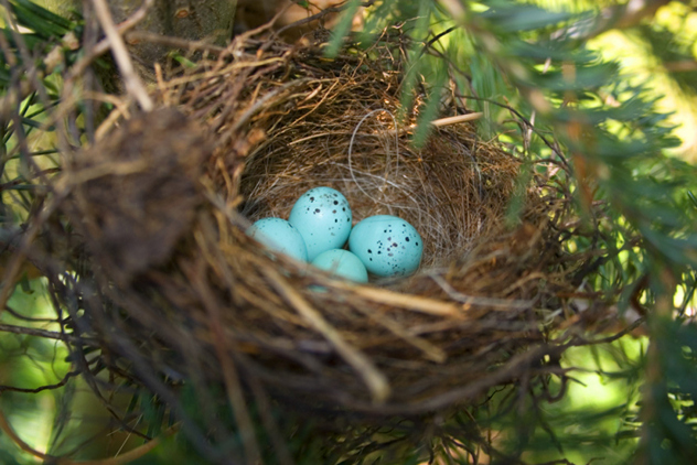chipping sparrow eggs