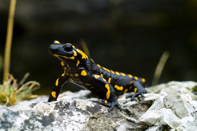 8- salamander
