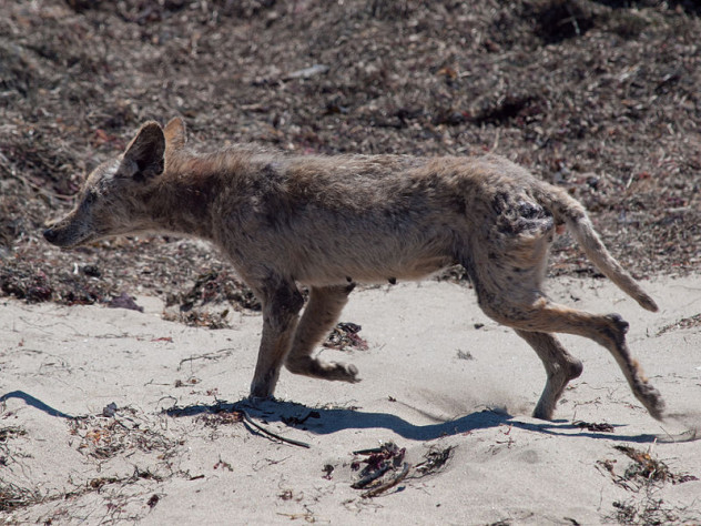 800px-Mangy_coyote_Año_Nuevo_State_Park
