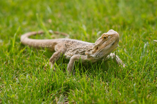5 bearded dragon
