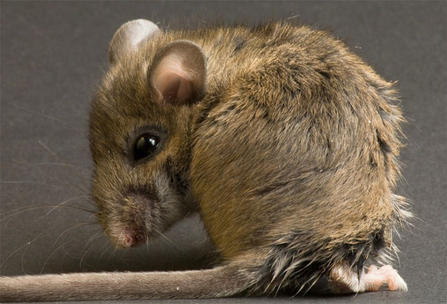 8- field mouse