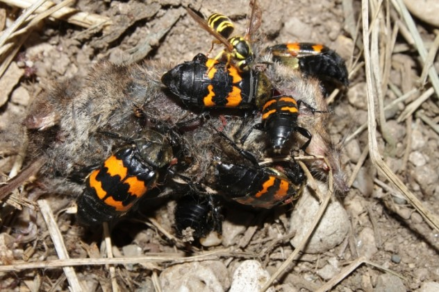 9 Carrion beetles