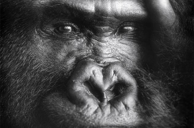 6- gorilla