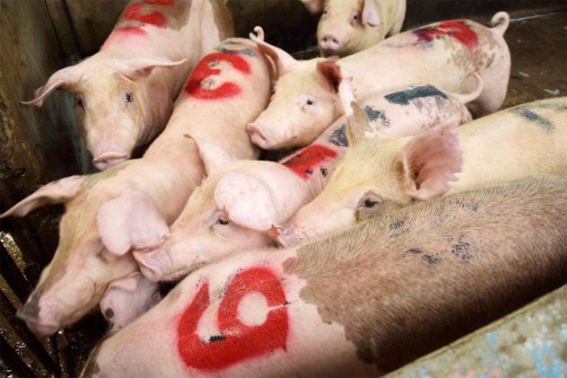 8- pork