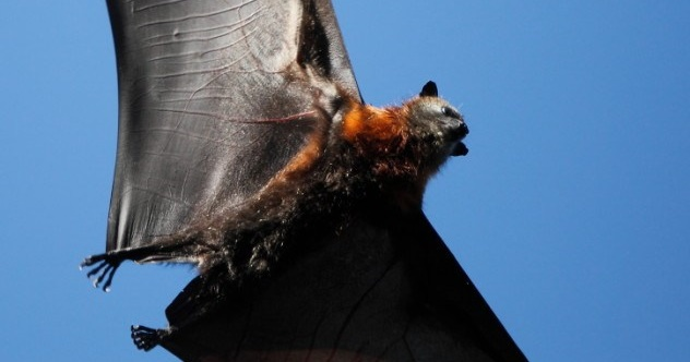 flying-fox-wings-e1425288713214