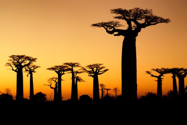 4 baobab