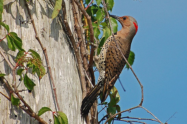 640px-Northern_Flicker_(Colaptes_auratus)_B._Walker