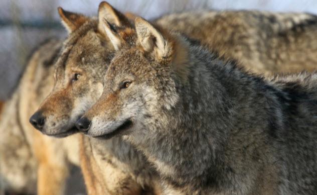1-pack-of-european-wolves-177020414