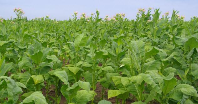6-tobacco-99952126