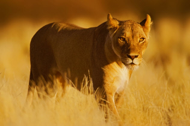 2-lioness_000001559870_Small