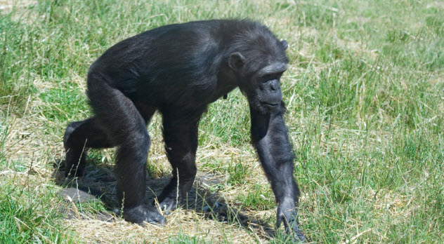6-chimp_000004353396_Small